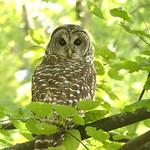 Barred Owl in my back yard